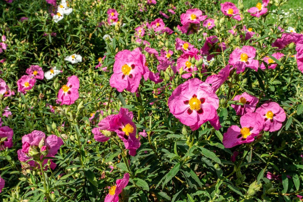 Cespugli Sempreverdi Con Fiori cisto, arbusto sempreverde dai fiori increspati | coltivazione