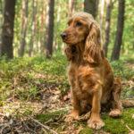 Cocker Spaniel, cane vivace e affettuoso | Caratteristiche e cura