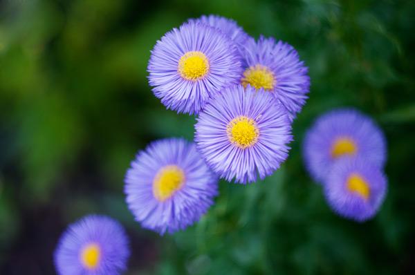 erigeron fiore