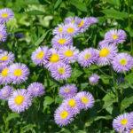 Erigeron, erbacea dai bei fiori | Cura e coltivazione