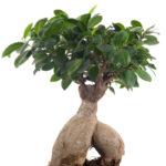 Ficus ginseng bonsai | Come curare questa pianta da appartamento