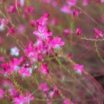 Gaura | Come coltivare il Fior di orchidea