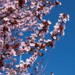Mirabolano, albero da frutto selvatico | Coltivazione delPrunus cerasifera