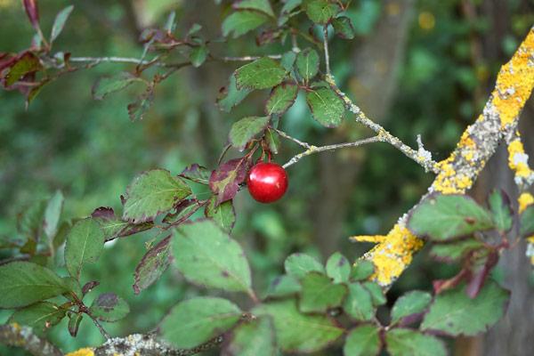 mirabolano frutto