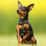 Pinscher nano | Piccolo cane vivace e affettuoso
