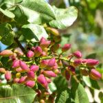 Pistacchio, albero da frutto | Coltivazione e proprietà