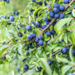 Prunus spinosa, l'arbusto da siepe dai frutti gustosi | Coltivazione