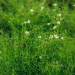 Sagina subulata | L'erba calpestabile che non si taglia