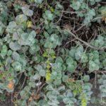 Dittamo | Coltivazione e proprietà dell'origano di Creta