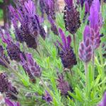 Lavandula stoechas | Caratteristiche e coltivazione della Lavanda selvatica