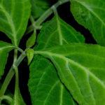 Salvia divinorum, pianta psicoattiva | Caratteristiche ed effetti