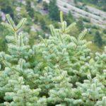 Abete bianco | Caratteristiche e coltivazione dell'Abies alba