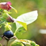 Belladonna, erbacea velenosa | Caratteristiche ed effetti