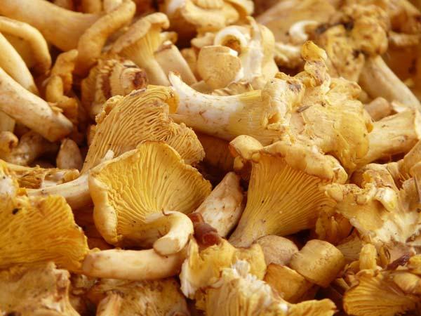 galletti funghi