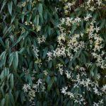 Clematis Armandii, rampicante ornamentale | Caratteristiche e coltivazione