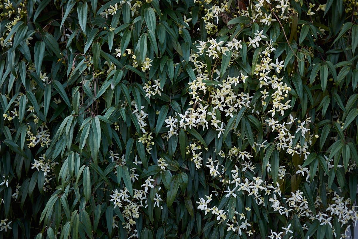 Clematis Resistenti Al Freddo clematis armandii, rampicante ornamentale | caratteristiche