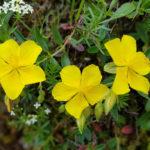 Helianthemum, la rosellina delle rocce | Coltivazione e varietà