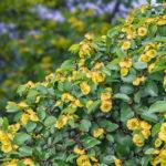 Marruca, arbusto antico |Caratteristichee coltivazione