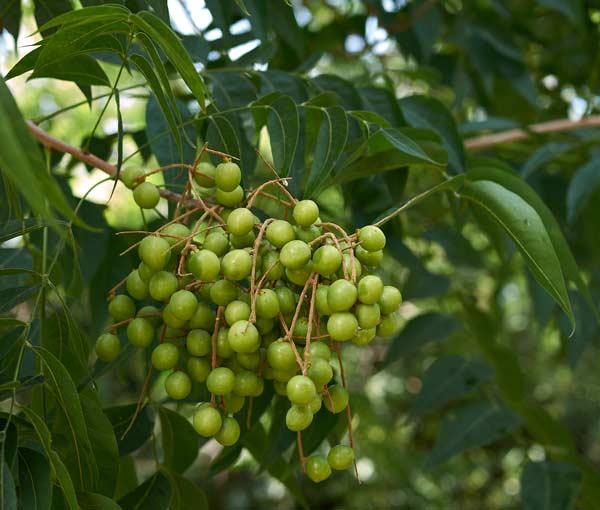 albero del rosario