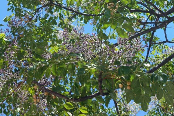 melia albero