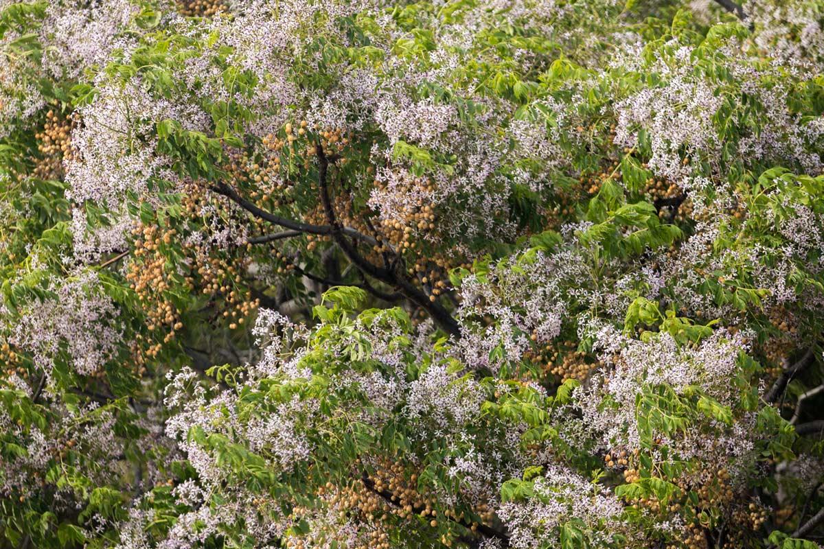 Albero Di Lillà melia azedarach | come coltivare l'albero dei rosari - fai