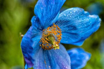 papavero blu