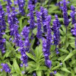Salvia farinacea | Caratteristiche e coltivazione della salvia blu