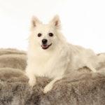 Volpino Italiano | Piccolo cane ubbidiente