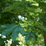 Acero riccio, albero ornamentale | Coltivazione e cure
