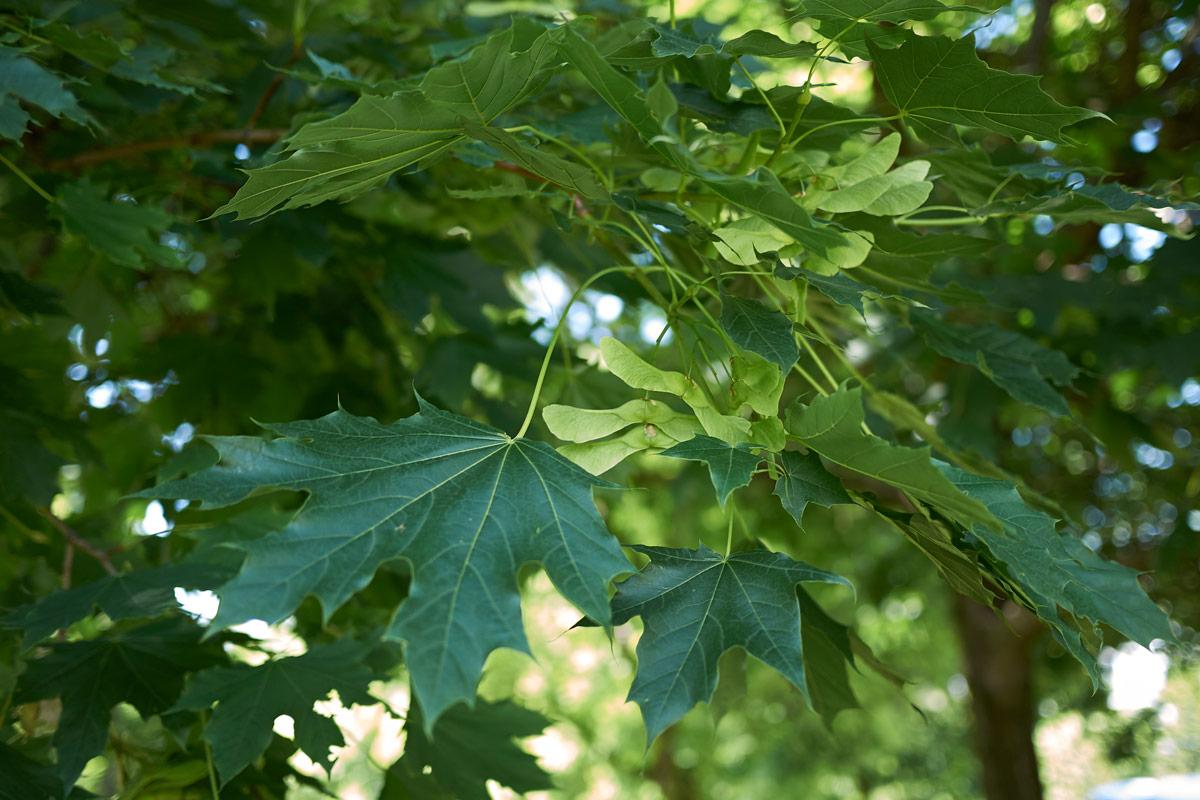 Alberi Ornamentali Da Giardino acero riccio, albero ornamentale | coltivazione e cure % alberi
