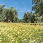 Camomilla | Proprietà benefiche, raccolta e utilizzi