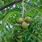 Noce nero americano| Caratteristiche e coltivazione