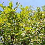 Ontano bianco | Caratteristiche e coltivazione dell'Alnus incana