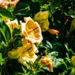 Solandra maxima, pianta rampicante | Caratteristiche e coltivazione