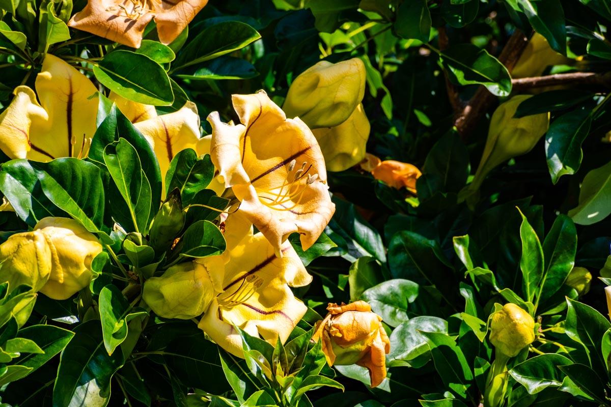Piante Rampicanti Da Esterno solandra maxima, pianta rampicante | caratteristiche e