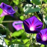 Ipomea, rampicante dai fiori a campanella | Coltivazione