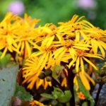 Ligularia, erbacea ornamentale | Caratteristiche e coltivazione