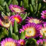 Delosperma, pianta tappezzante | Coltivazione e varietà