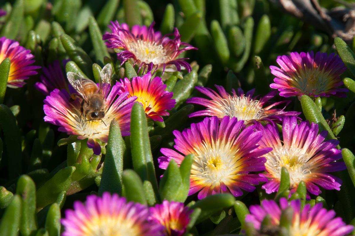 Barba Di Giove Sempreverde delosperma, pianta tappezzante | coltivazione e varietà