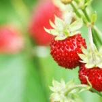 Fragoline di bosco | Caratteristiche e coltivazione
