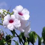Pandorea rampicante | Caratteristichee coltivazione