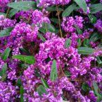 Hardenbergia, rampicante sempreverde | Caratteristiche e coltivazione