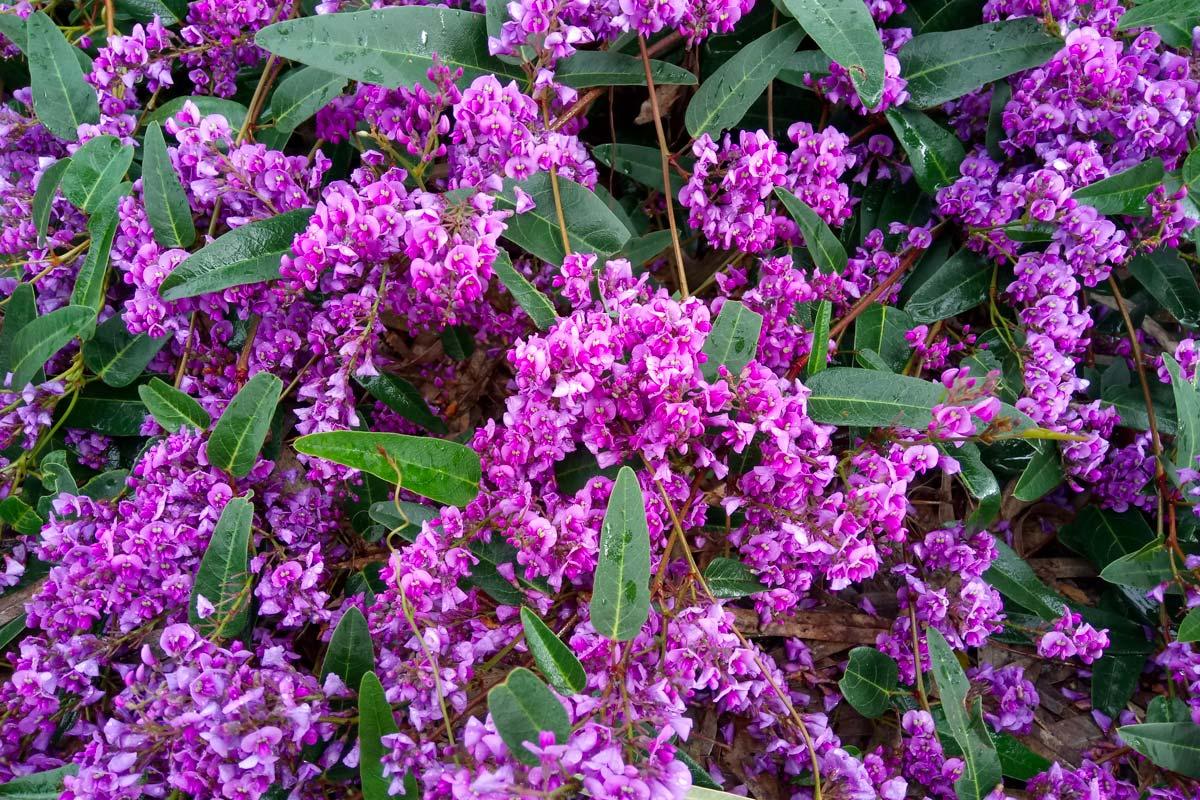 Clematis Resistenti Al Freddo hardenbergia, rampicante sempreverde | caratteristiche e