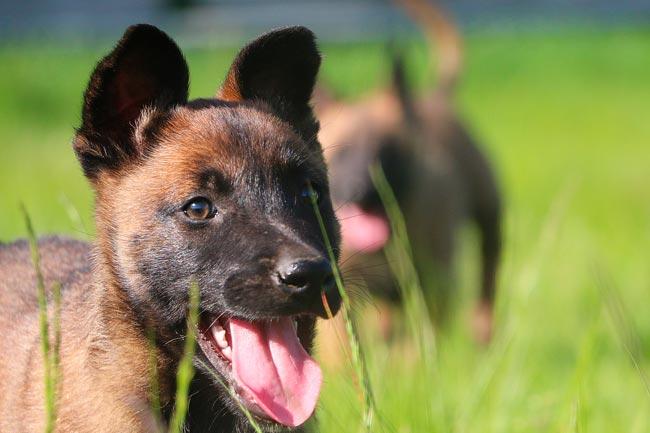 pastori belga cuccioli