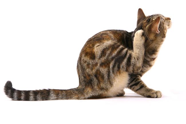 prurito gatto
