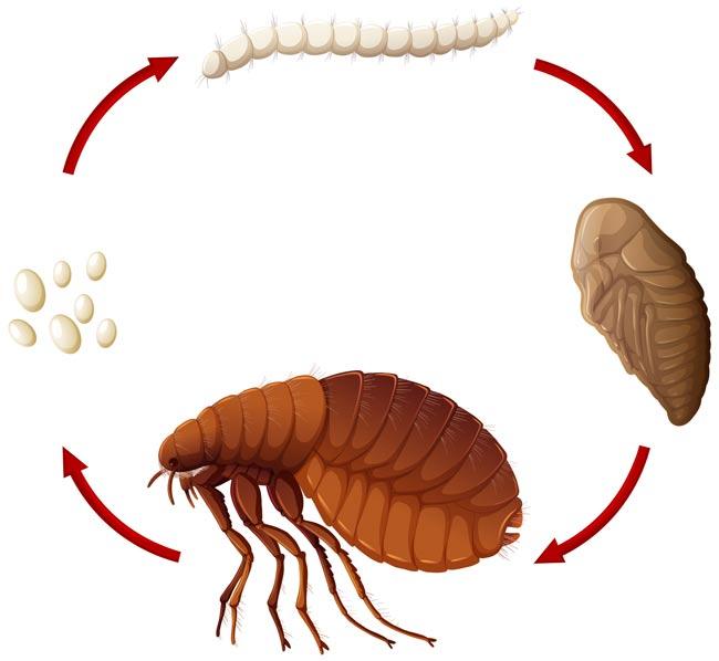 ciclo di vita delle pulci