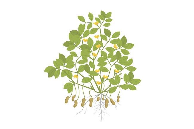 arachide pianta