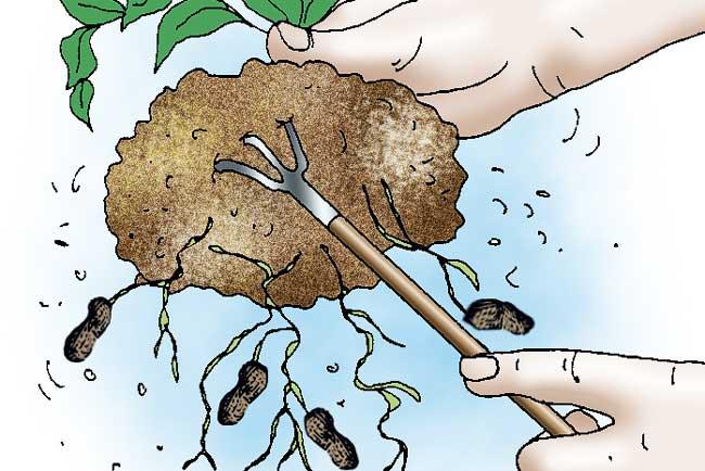 raccolta arachide