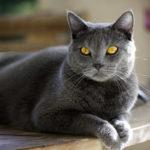 Gatto certosino | Dolce, tranquillo e dal caratteristico pelo grigio