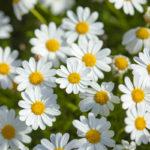 Argyranthemum frutescens | Come coltivare la Margherita delle Canarie